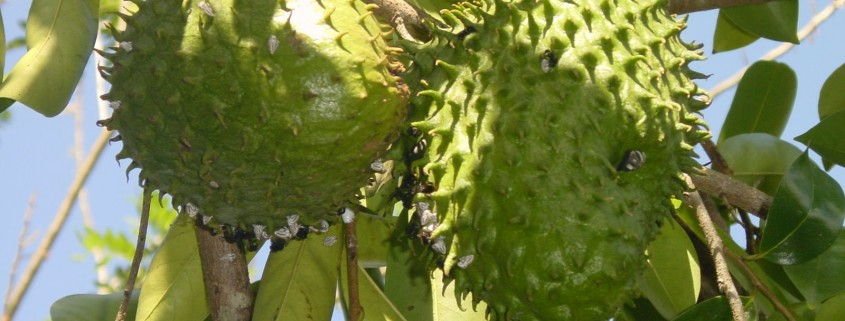 Brazilian Paw-Paw fruit, or guanabana